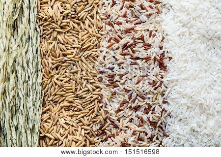 Four rows of rice rice plant paddy seed brown rice white (jasmine) rice. Food background.