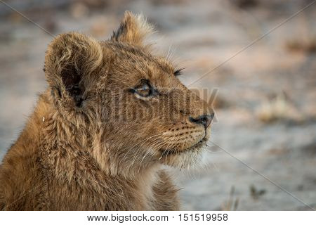 Side Profile Of A Lion Cub Looking Up.