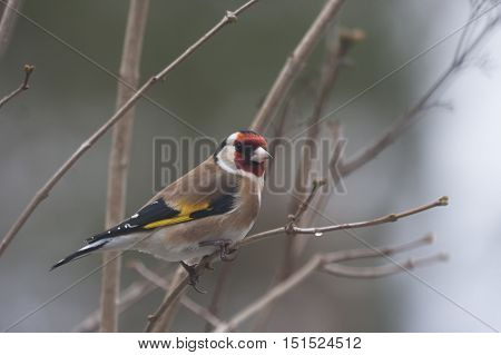 the beautiful gold finch (carduelis carduelis) in a schrub