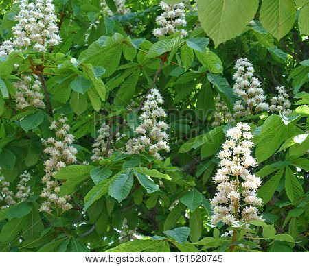 Blooming chestnut blossoms, sparkling in the bright rays of the midday sun, swaying in the wind