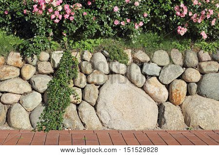 Frisian stone wall planted with a rosebush Island of Sylt Germany