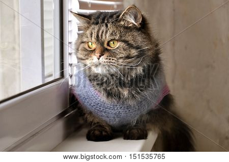 Portrait of a fluffy brown tabby cat in knitted wool dress sitting on the windowsill.