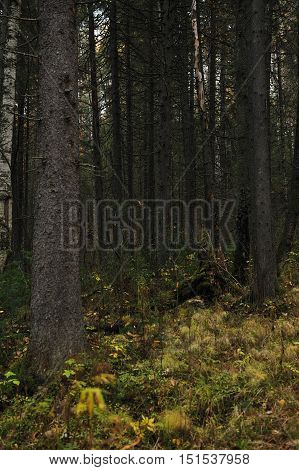 Taiga forest in the middle of autumn.