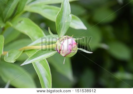 Ants In The Unopened Bud Of Peony. Ants Collect Sweet Sap Of The Plant