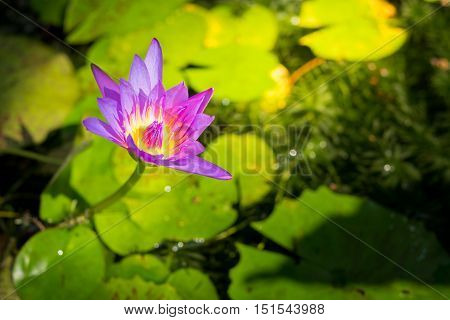 Beautiful Water lily or lotus on water