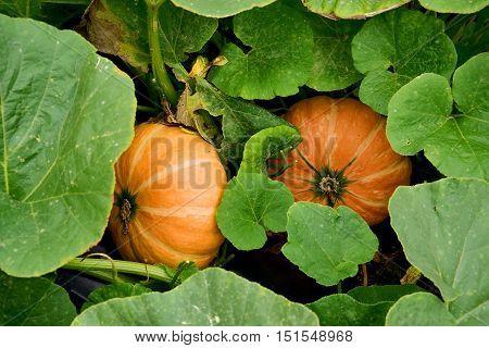 pumpkin in the green leaves food orange