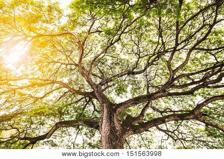 mighty old tree with green spring leaves bright sunlight