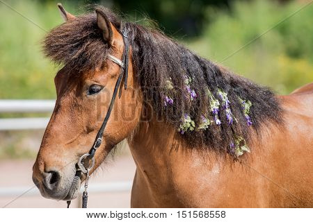 Icelandic horse decorated with purple flowers. A chestnut colored mare.