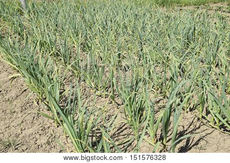 The Cultivation Of Garlic In The Garden. The Bed Of Garlic
