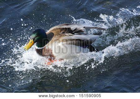 Nature, fauna, birds, ducks, Mallard, handsome, animals, water, water