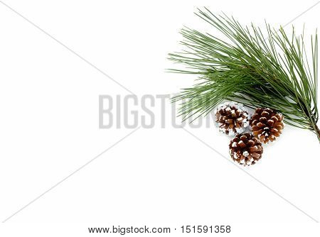 Twig of Pine Tree and three snowy white hand painted pine cones isolated on white background.