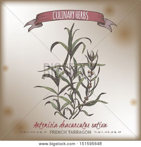 Artemisia dracunculus sativa aka French tarragon color vector hand drawn sketch on vintage background. Culinary herbs collection. Great for cooking, medical, gardening design.