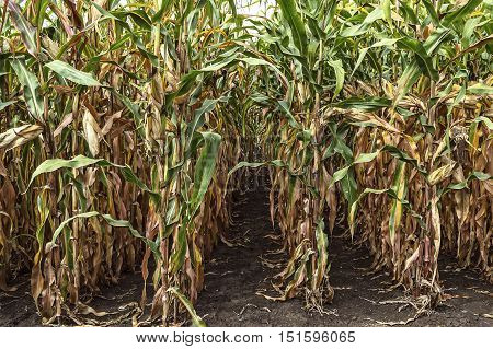 Corn field before harvest. An agricultural concept.