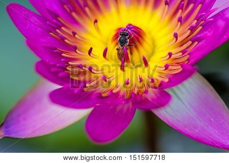 Close -up pink water lily with bee on pond