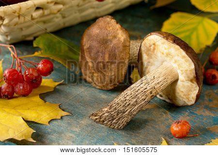Mushroom Brown Cap Boletus, Autumn Leaves And Hawthorn Berries. Autumn Background.