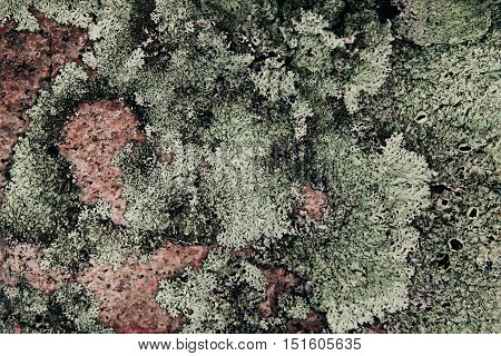 Green lichen on pink granite stone. Abstract natural background. Tundra.