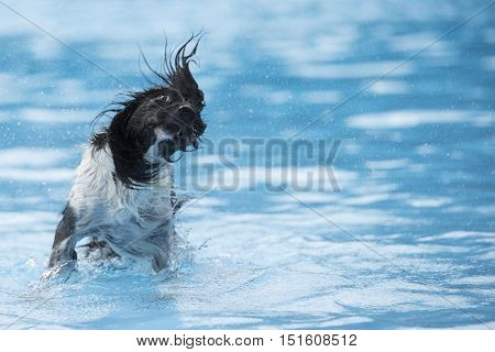 Dog shaking head in swimming pool blue water