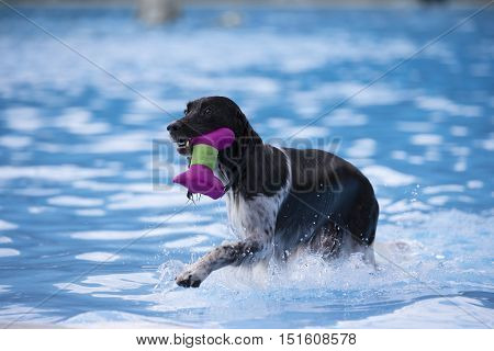 Dog fetching toy in swimming pool blue water
