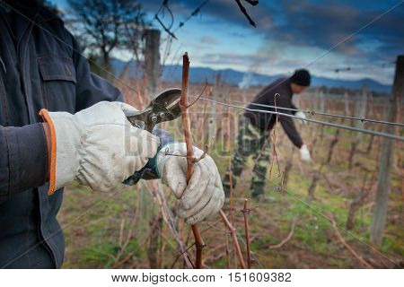 Processing and care of the vineyards of red and white wine in Bolgheri cutting the dead wood to clean the vines and prepare them for production in Tuscany