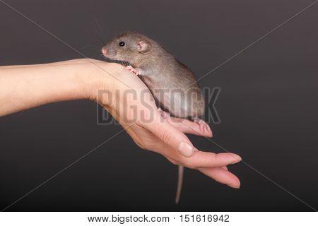brown baby rat on human palm closeup