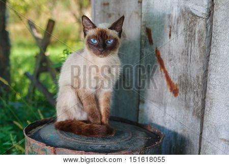 Graceful Siamese cat with blue eyes sitting on a rusty cask in summer garden