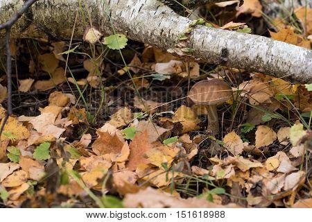 Birch mushroom under branch of silver birch in autumn forest