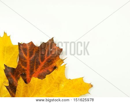 Colourfull autumn background made from oak leaves