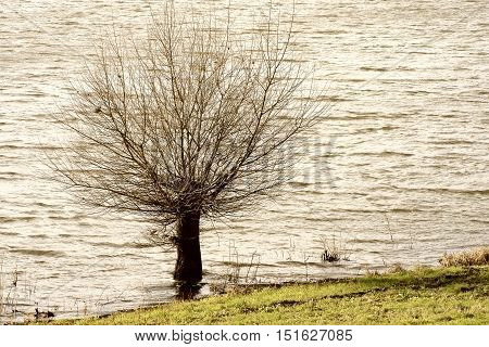 A small willow tree stands isolated on the banks of the river Elbe.