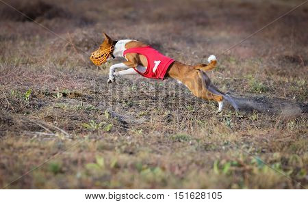 Coursing. Basenji Dog Pursues The Lure.