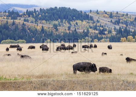 A bison herd in the Grand Teton National Park