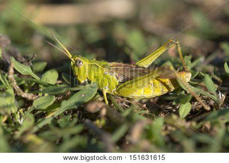 Bow-winged Grasshopper (Chorthippus biguttulus) resting on the ground between vegetation