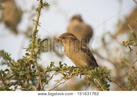 House Sparrow ( Passer domesticus) female perched on a Branch of a Shrub