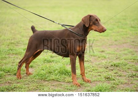 Brown Doberman pinscher portrait in the park