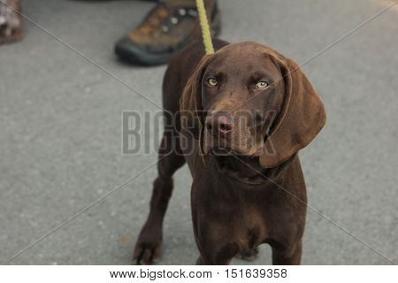 German Shorthaired Pointer male puppy 12 weeks old