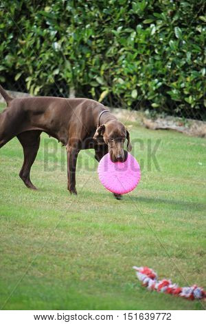 German Shorthaired Pointer male six years old playing with a frisbee