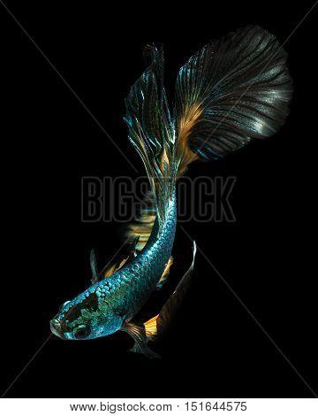 betta fish fighting fish siamese fighting fish.