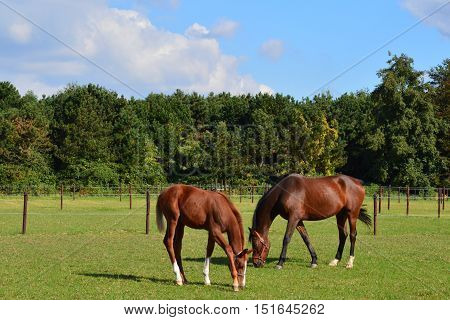 Horses in the  whey grazing , the mare and her  foal