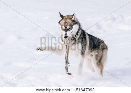 Young Husky Dog Play  Run With Rag Outdoor In Snow, Winter Season. Sunny Day