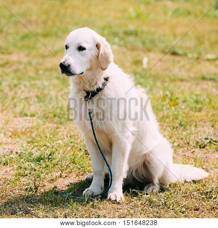 The White Labrador Retriever Adult Dog Or St. John's Dog, St. John's Water Dog Sitting On Trimmed Sunny Lawn.