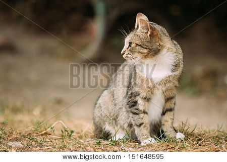 Gray And White Mixed Breed Short-Haired Domestic Young Cat, Sitting On The Yellow Grass And Looking Away.