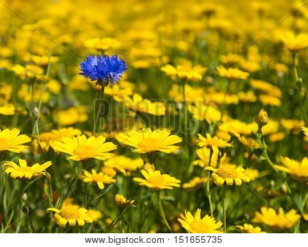Yellow wild flowers fill every inch of this meadow as far as the eye can see except for a single blue cornflower peeping out from between yellow daisies. Selective focus blurs the background and the foreground highlighting the flowers in the centre ground