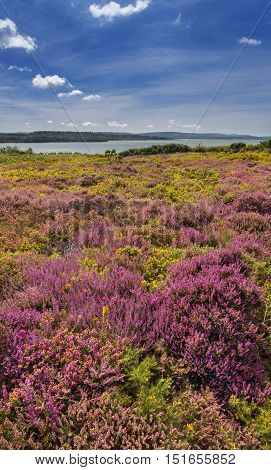 Lush purple and pink bell heather and verdant trees on Heathland Hamworthy Poole Dorset near Bournemouth. The islands of the harbour can be seen in the distance