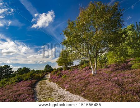 Purple heather of the Arne Heathland Dorset with views across the harbour waters to the islands of Brownsea Furzey Green Long and Round