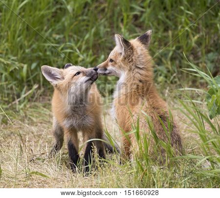 Pair of fox kits in grass with one asking for kiss or touching noses