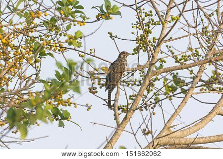 Asian Koel in a Tree near Nagarhole National Park in India