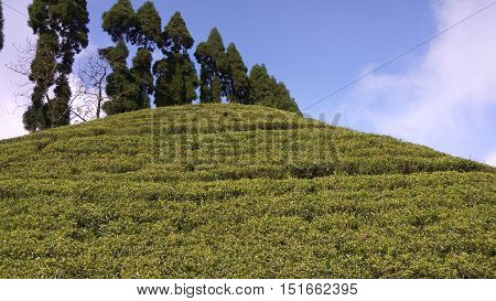 Tea garden on the mountain with tree and sky background