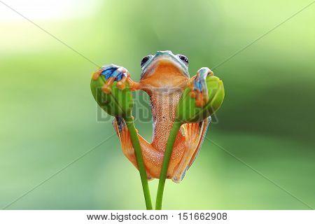 Tree frog, javan frog between two stalks