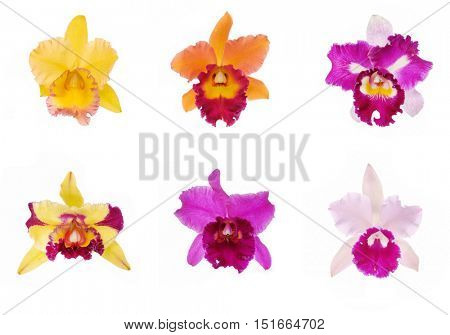 Six bright cattleya orchid flowers isolated on white background