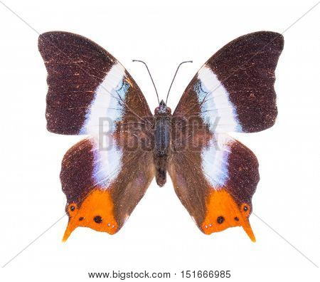 Palla violinitens. Beautiful colorful butterfly. Moth isolated on white.