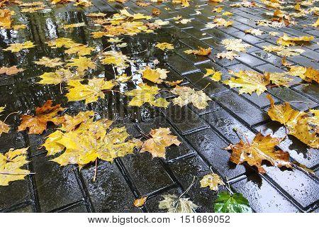 Autumnal Colorful Wet Maple Leaves On Cobblestone Sidewalk